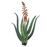 Öliger Auszug aus BIO-Aloe Vera