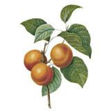 Organic Virgin Apricot Kernel Oil