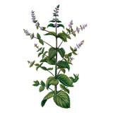 Organic wild mint (Mentha arvensis) essential oil