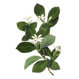 Monoï Edelweiss naturel